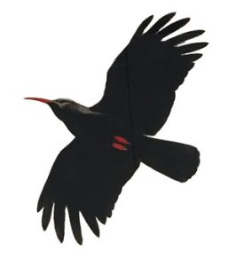 Choughs placeholder